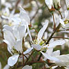 Amelanchier Asiatica