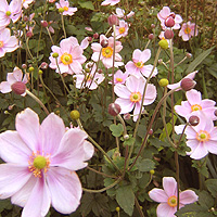 Anemone Hupehensis 'September Charm' - Wind Flower