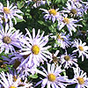 Aster X Fricartii - Monch