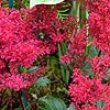 Astilbe - Red Sentinal