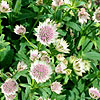 Astrantia Major - Buckland