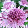 Astrantia Major - Roma