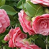 Camellia Japonica - Mrs Tingley