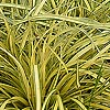 Carex Oshimensis - Evergold