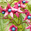 Clerodendrum Trichotomum - Fargesii