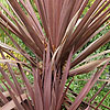 Cordyline Australis - Red Sensation