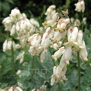 Dicentra 'Langtrees' - Bleeding Heart, Dutchman's Trousers, Dicentra