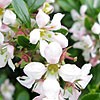 Escallonia - Apple Blossom