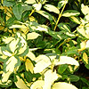 Euonymus Fortunei - Blondy