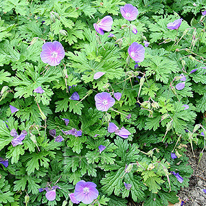 Geranium 'Johnsons Blue'