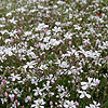 Gypsophila Repens - White