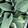 Hosta - Brother Ronald