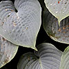 Hosta - Hapsden Blue