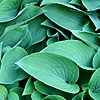 Hosta - Pacific Blue Edger