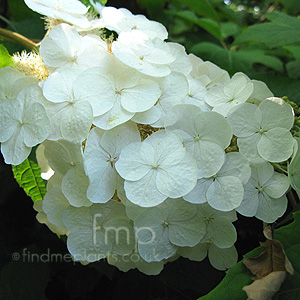 Hydrangea how to plant grow and care for hydrangea shrubs page page