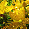 Hypericum Subsessile