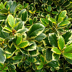 Ilex  X Altaclerensis 'Golden King' - Variegated Holly, Ilex
