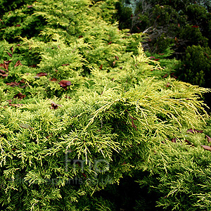 Juniperus X Media 'Gold Sovereign' - Juniper