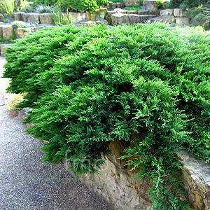 Juniperus Scopulorum 'Prostrata' - Rocky Mountain Juniper