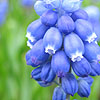 Muscari - Super Star