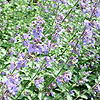 Nepeta Racemosa - Walkers Low