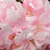 Paeonia - Shirley Temple