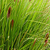 Pennisetum Thunbergii - Red Buttons