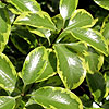 Pittosporum - Wendle Channon