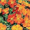 Potentilla - Sunset