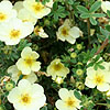 Potentilla Fruticosa - Primrose Beauty