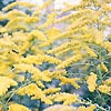 Solidago - Golden Wings