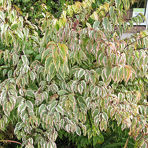 Stachyurus Chinensis 'Joy Forever' - Variegated Stachyrus