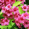 Weigela Rubicor