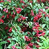 Weigela - Red Prince