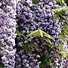Wisteria Floribunda - Black Dragon