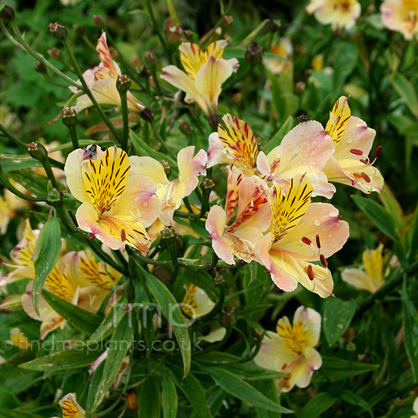 a large image of alstroemeria friendship from plant encyclopedia. Black Bedroom Furniture Sets. Home Design Ideas