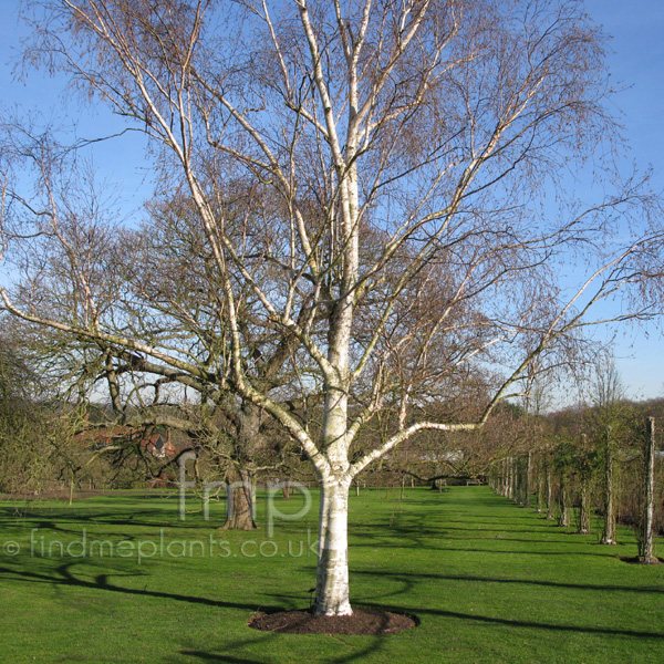 Big Photo of Betula Utilis