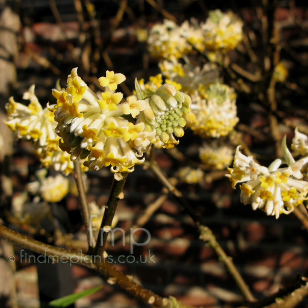 Big Photo of Edgeworthia Chrysantha Flower