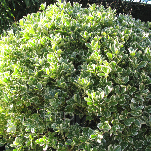 Big Photo of Euonymus Japonicus President Gauthier