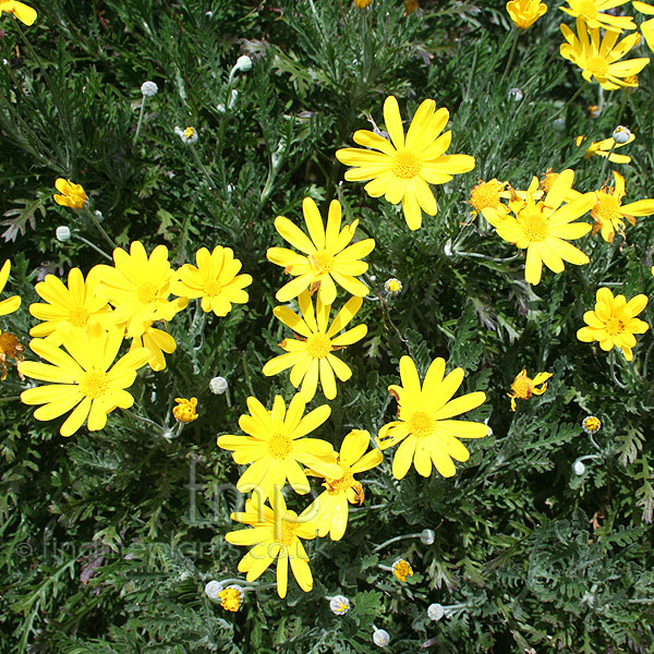 Big Photo of Euryops Pectinatus