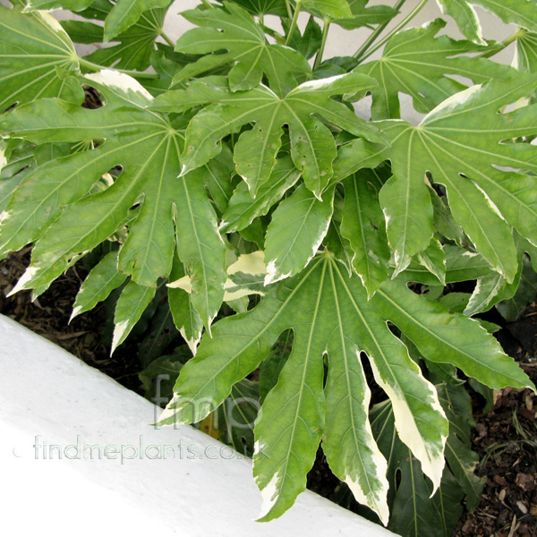 Big Photo of Fatsia Japonica Var Lf