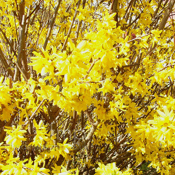 Big Photo of Forsythia Intermedia