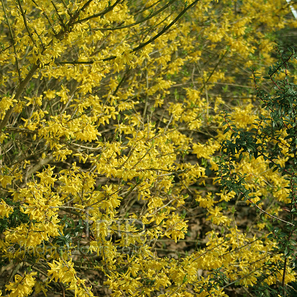 Big Photo of Forsythia Maree De Or