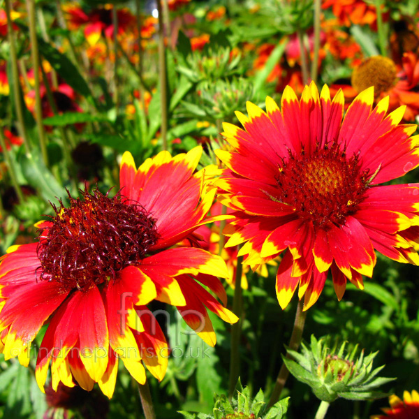 Big Photo of Gaillardia Solarflare Fl