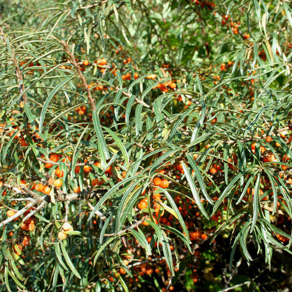 Big Photo of Hippophae Ram