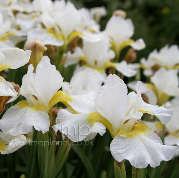 Big Photo of Iris Sibirica Whiteswirl Fl