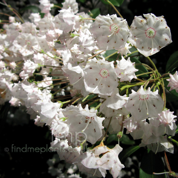 Big Photo of Kalmia Latifolia Fl