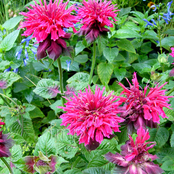 Big Photo of Monarda Rubygolw