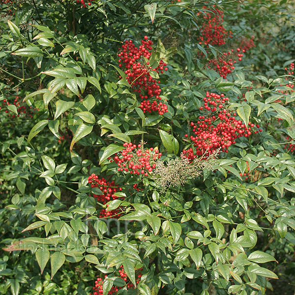 Big Photo of Nandina Domestica Richmond