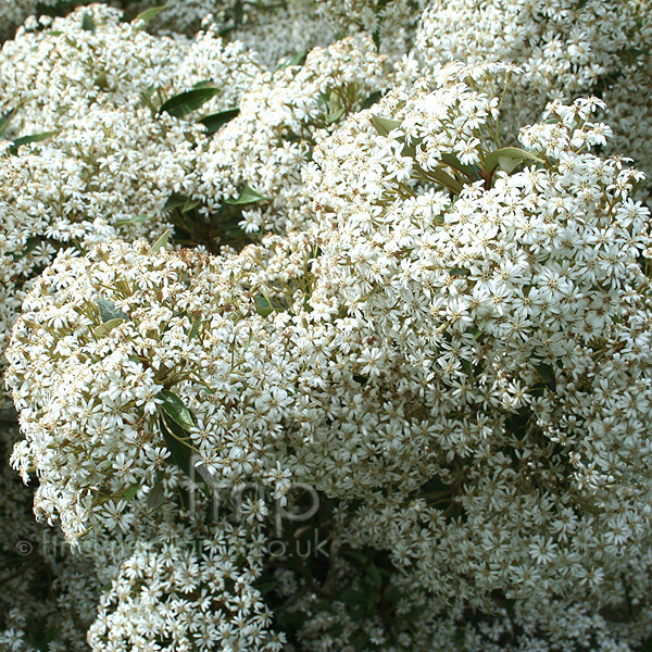 Big Photo of Olearia Cheesemanii